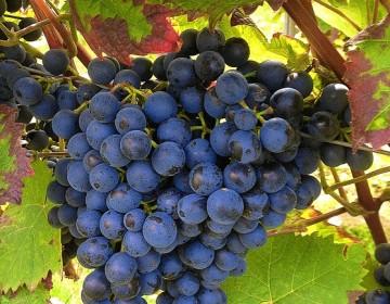Wijngaard, druiven in Nijkerk
